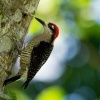 Datel cernolici - Melanerpes pucherani - Black-cheeked Woodpecker o6459