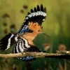 Dudek chocholaty - Upupa epops - Common Hoopoe o8463