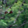 Kalon australsky - Pteropus poliocephalus - Gray-headed Flying Fox o1224