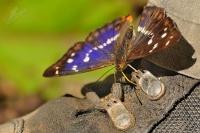 Batolec duhový - Apatura iris - Purple Emperor